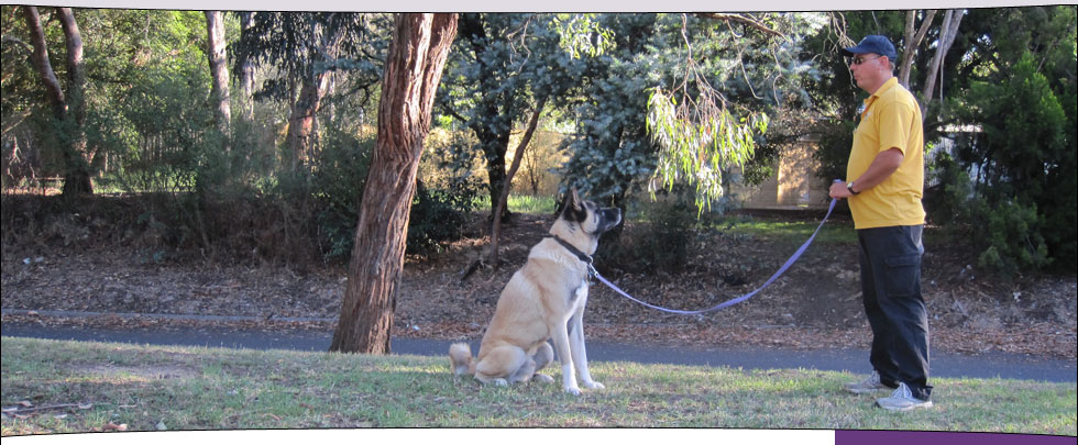 George doing a sit step-away with Yoshi (Akita)