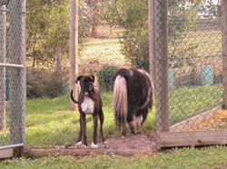 A boxer waiting inside the gate despite the horse walking through the gate